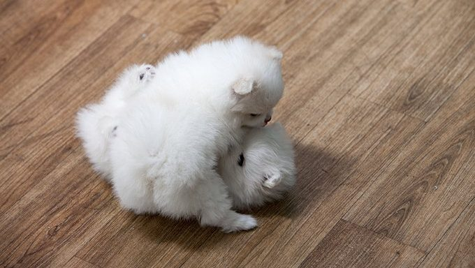 white pom puppies playing