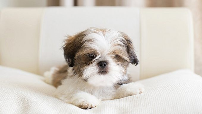 shih tzu puppy on couch