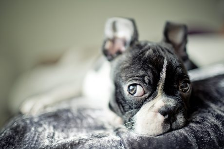 Boston Terrier Puppies: Facts And Adorable Pictures