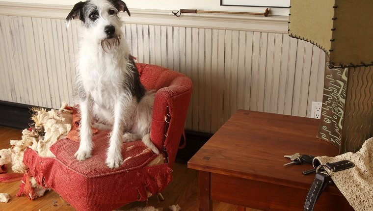 Mischievous dog sitting on torn furniture