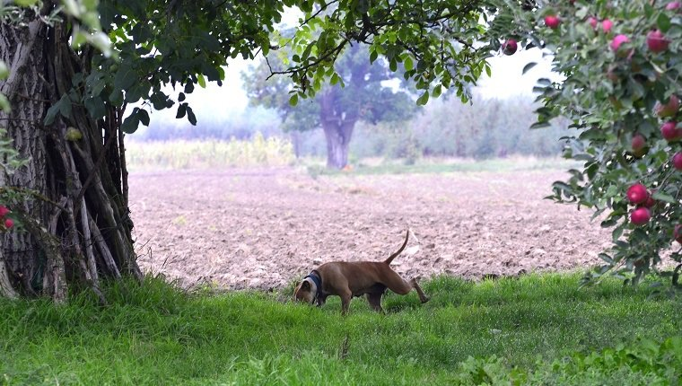 dog sniffing in apple orchard