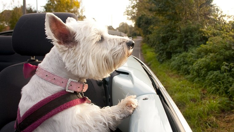 A West Highland Terrier in a pink collar and harness, looks out over the side of a blue Volkswagen Beetle Convertible on a car journey. Trees and autumn leaves in the background.