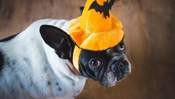 french bulldog with halloween hat