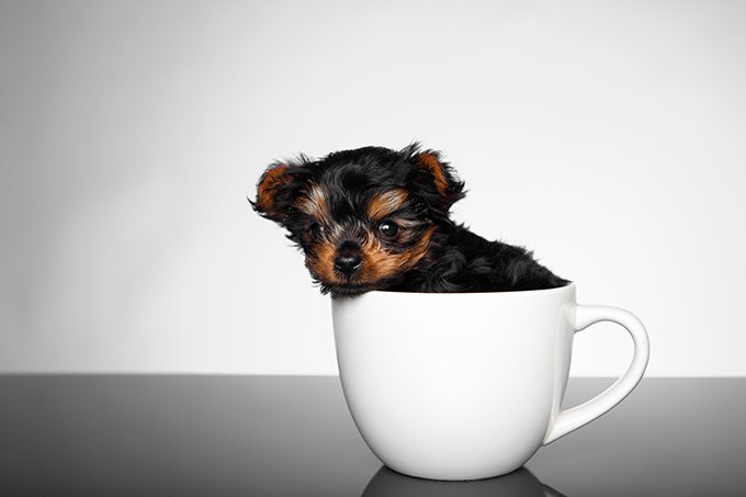 tea cup yorkie images teacup yorkie puppies dogtime 5584
