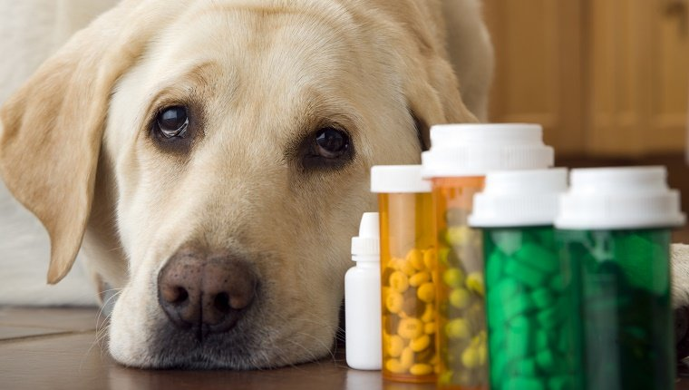 Labrador dog lying next to bottle of pills and medication, close-up