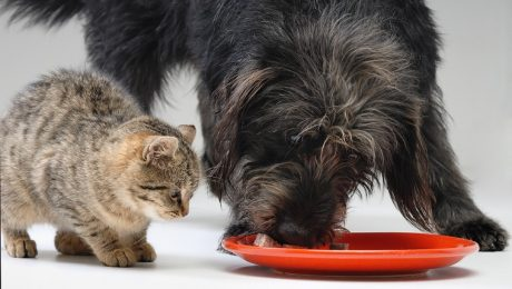 Dear Labby: Why Is Cat Food Dangerous For My Dog?
