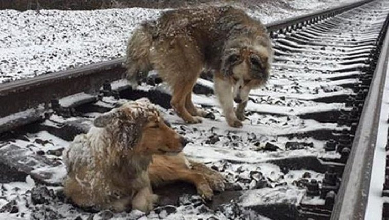 dogs-rescued-train-tracks-panda-lucy-1