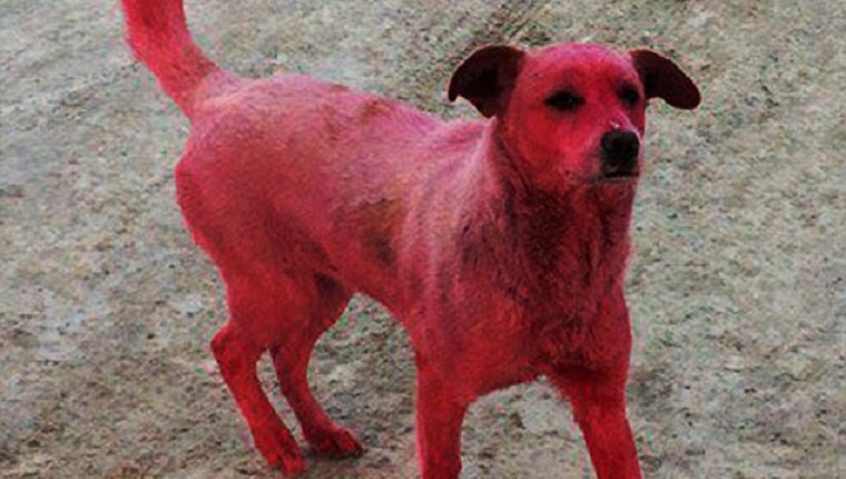 pink-stray-dog-dyed-russia-1