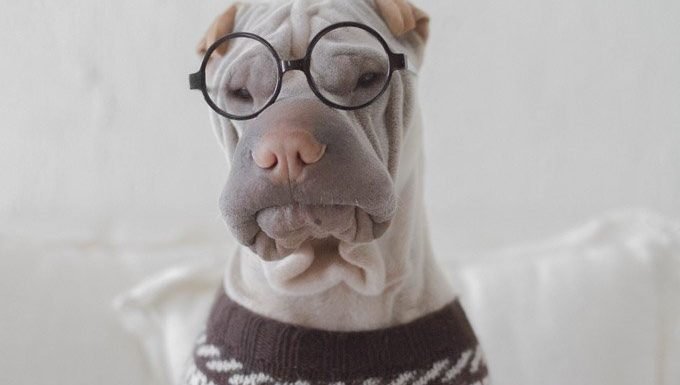 dog in glasses and sweater for dress up your pet day