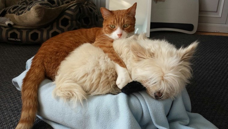 Portrait Of Cat Holding Dog While Relaxing On Chair At Home