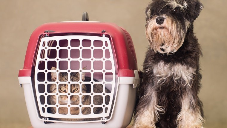 Tabby cat in pet carrier and Miniature Schnauzer sitting beside