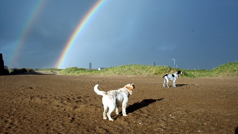 Spindrift from the ocean causes double rainbows to appear in the blue sky. Two dogs don't seem to care.