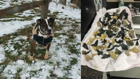 94 Pieces Of Plastic Removed From Stomach Of Starving, Neglected Dog