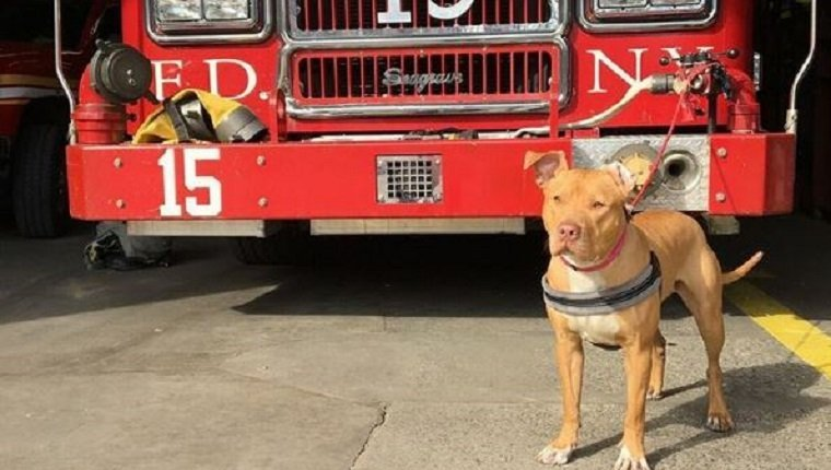 ashley-firehouse-pit-bull-dog01