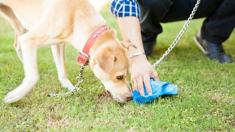 Closeup of the hand of a man picking up some dog poop with a bag while his dog sniffs it