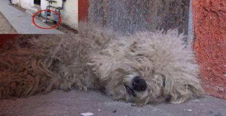 Stray Poodle Transformed By Love [HOPE FOR PAWS VIDEO]