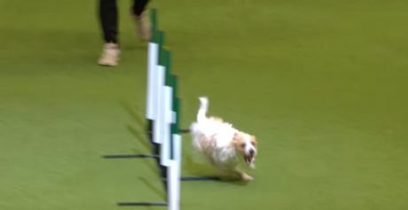 Jack Russell Goes Bonkers At This Year's Crufts Dog Show [VIDEO]