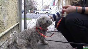 HEART-STOPPING RESCUE: Homeless Poodle Runs Toward Freeway [VIDEO]