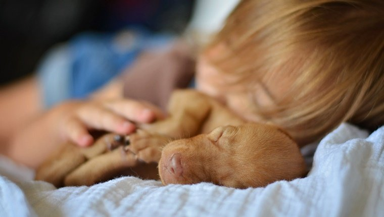 Toddler girl sleeps with her hands resting on a young Vizsla puppy dog. Closeup image of dog's face.