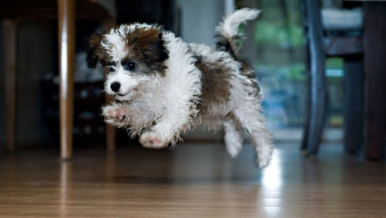 Fluffy little puppy jumping.