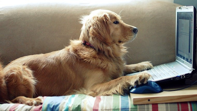 Golden Retriever chatting on laptop, with one paw on the keyboard and one paw on the mouse.