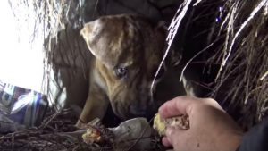 Homeless Pit Bull Has Babies In The Rain [VIDEO]