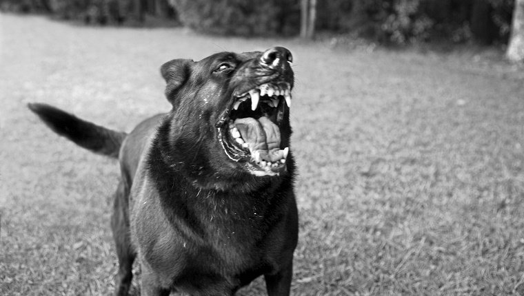 Angry Dog Showing Teeth