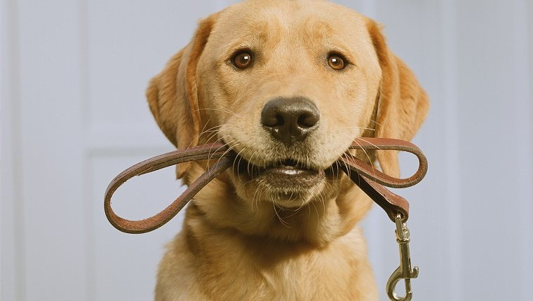 Golden Labrador holding leash in mouth