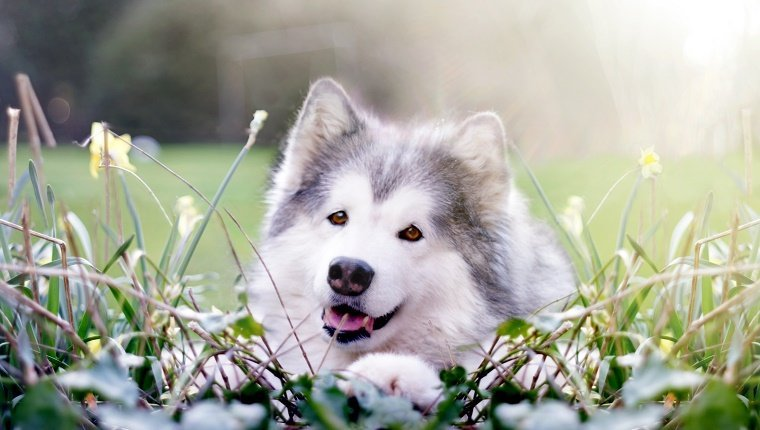 Happy-looking Alaskan Malamute surrounded by spring Daffofil plants.
