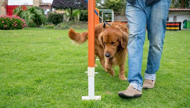 Cute dog in training at an obstacle course