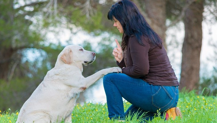 Give paw! - woman talks to senior Labrador dog in a park (focus on dog) obedience training