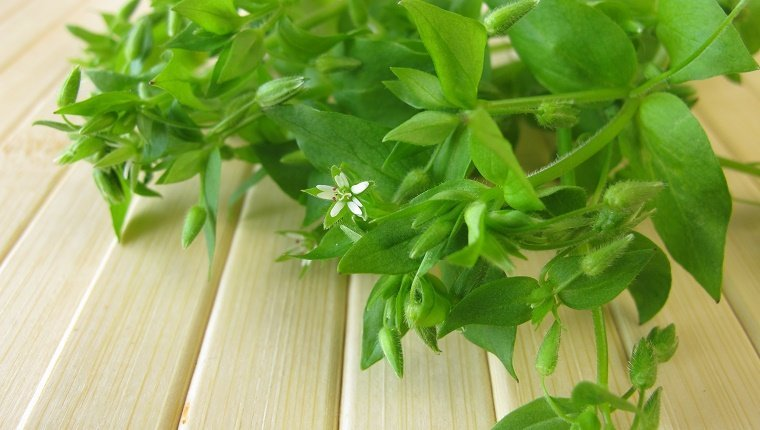 Wild vegetables chickweed - Wildgem?se Vogelmiere