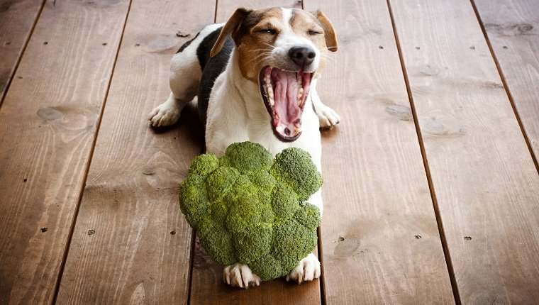 Jack russell terrier dog lying with broccoli outdoor.