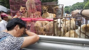 Dog Meat 'Likely Banned' This Year At China's Yulin Dog Meat Festival