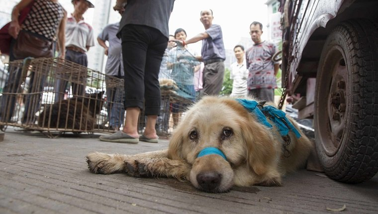 Dogs to be killed are fixed at a free market ahead of the Yulin Dog Eating Festival in Yulin city, south China's Guangxi Zhuang Autonomous Region on 21th June 2014. About 10,000 dogs will be slaughtered for their meat at the Lychee and Dog Meat Festival in Yulin in Guangxi province on Sunday and Monday to mark the summer solstice, state media said.he tradition of eating dog meat dates back four or five hundred years in China, South Korea and other countries, as it is believed to ward off the heat of the summer months, according to state news agency Xinhua. (Photo by Jie Zhao/Corbis via Getty Images)