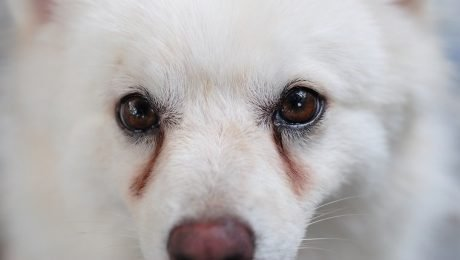 Tear Stains Under Dogs' Eyes: What They Mean And What You Should Do About Them