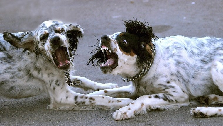 Dogs who pretend to fight.