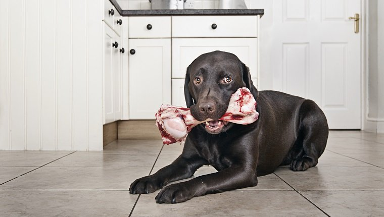 Chocolate Labrador with big Bone