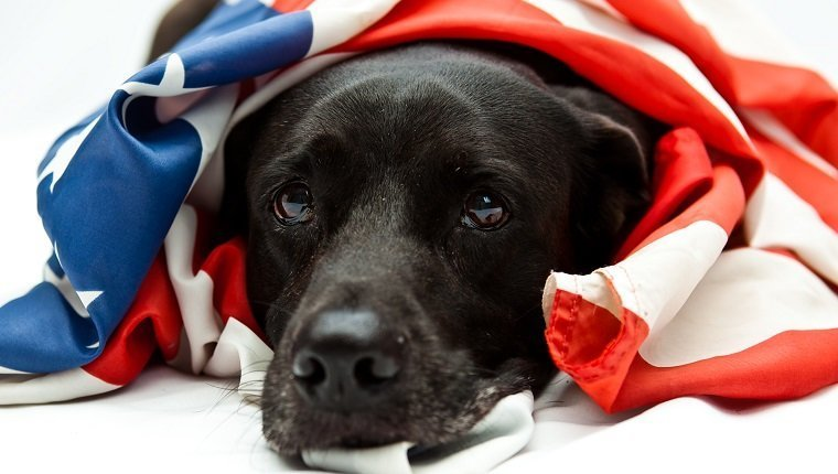 black Labrador mix wearing US flag