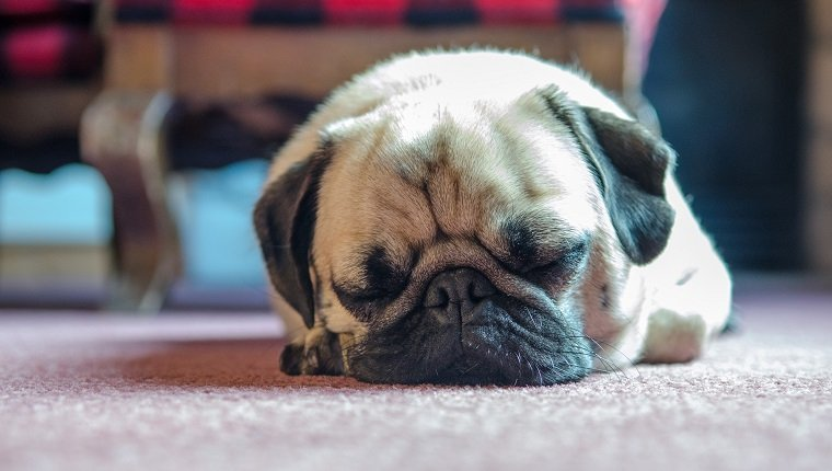 Sleeping pug in Breckenridge