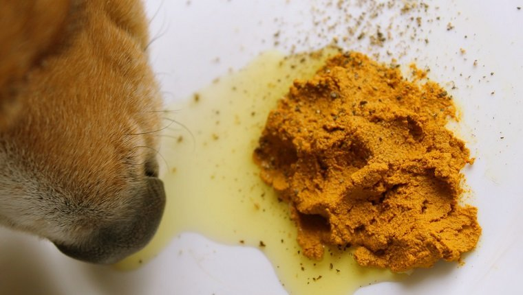 Raw fed beagle dog eating turmeric golden paste with ground pepper and olive oil