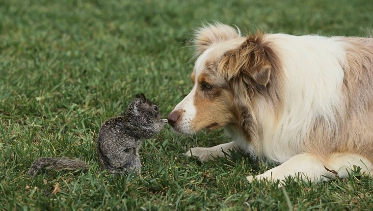 Australian Shepherd Facing off a California Ground Squirrel --- Image by © DLILLC/Corbis