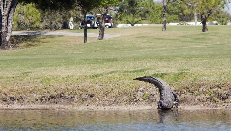 Alligator on a golf course. Shallow DOF, with main focus on alligator.