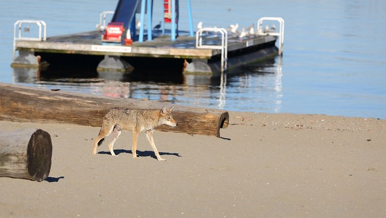 A coyote roams a beach in downtown Vancouver. British Columbia, Canada.