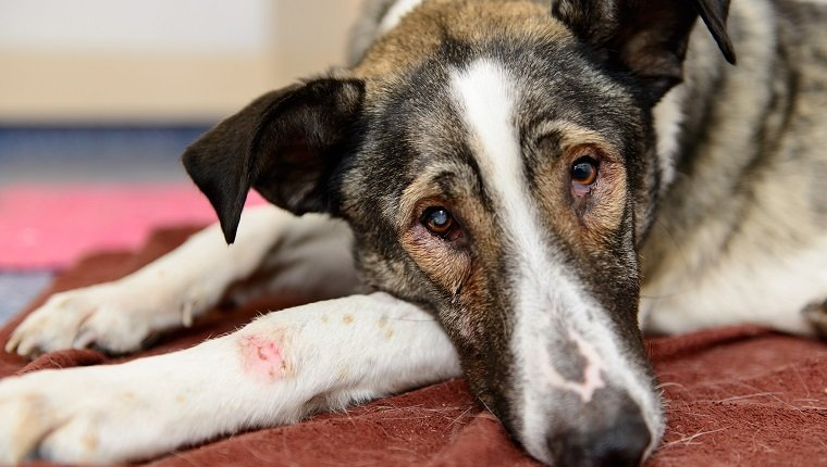 sick wounded homeless dog gets help in a veterinary clinic