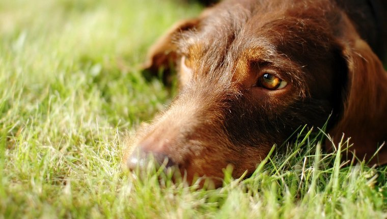 Flat-Coated Retriever Lying On Grassy Field