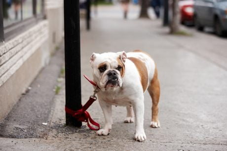 5 Tips To Protect Your Dog From Dog Thieves