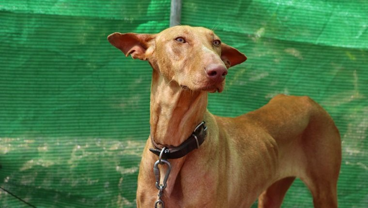 "Podenco Canario (In English: Canary Islands Hound, Canarian Warren Hound) is a breed of dog originally from the Canary Islands. The Podenco Canario is still used in the Canary Islands today in packs as a hunting dog, primarily used for rabbit hunting. The word ""podenco"" is Spanish for ""hound"". ""Canario"" means ""Canarian"" or ""of the Canaries""."