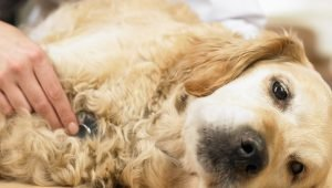Lupus In Dogs: Symptoms, Causes, Diagnosis, And Treatment