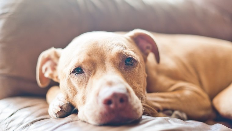 Close up of pitbull relaxing on sofa